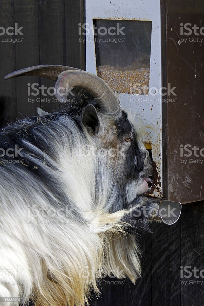 Goat on a feeder stock photo