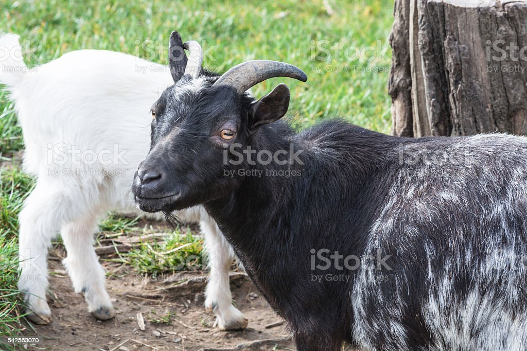 Goat on a pasture stock photo