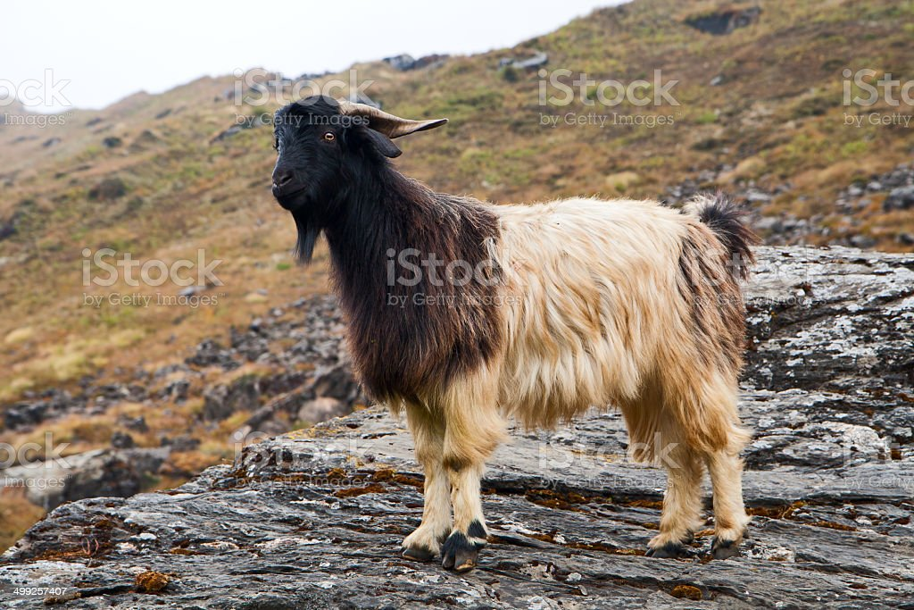 Goat on a stone royalty-free stock photo