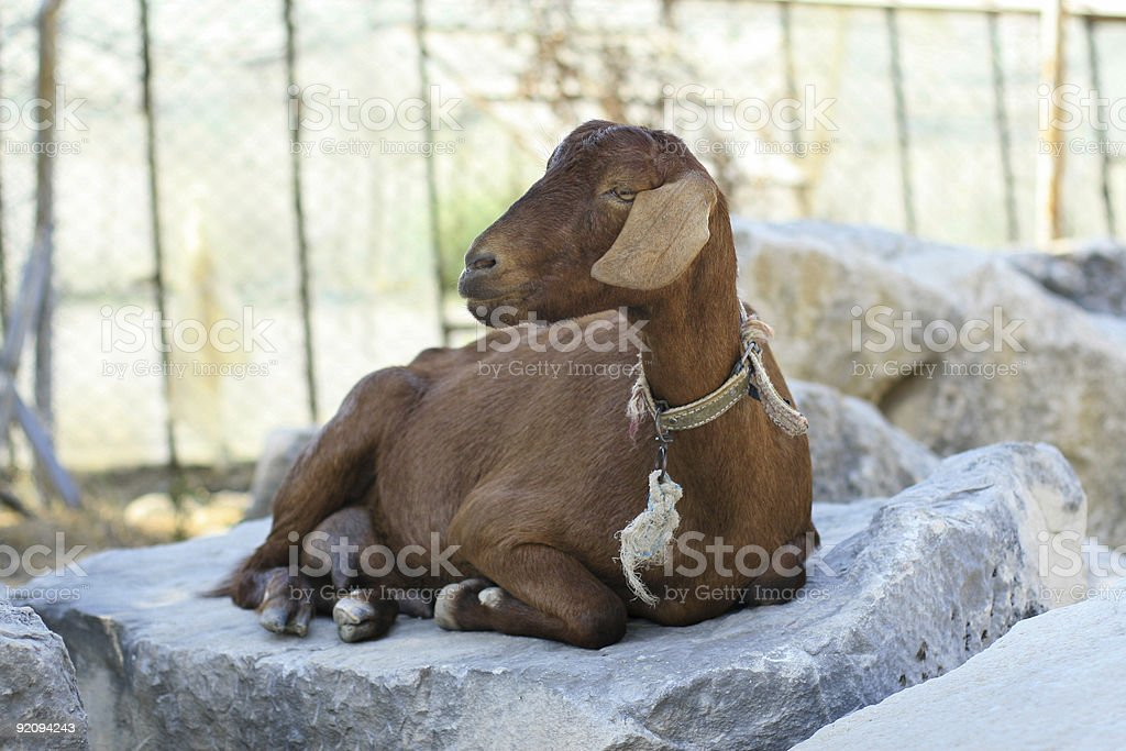 Goat on a stone stock photo