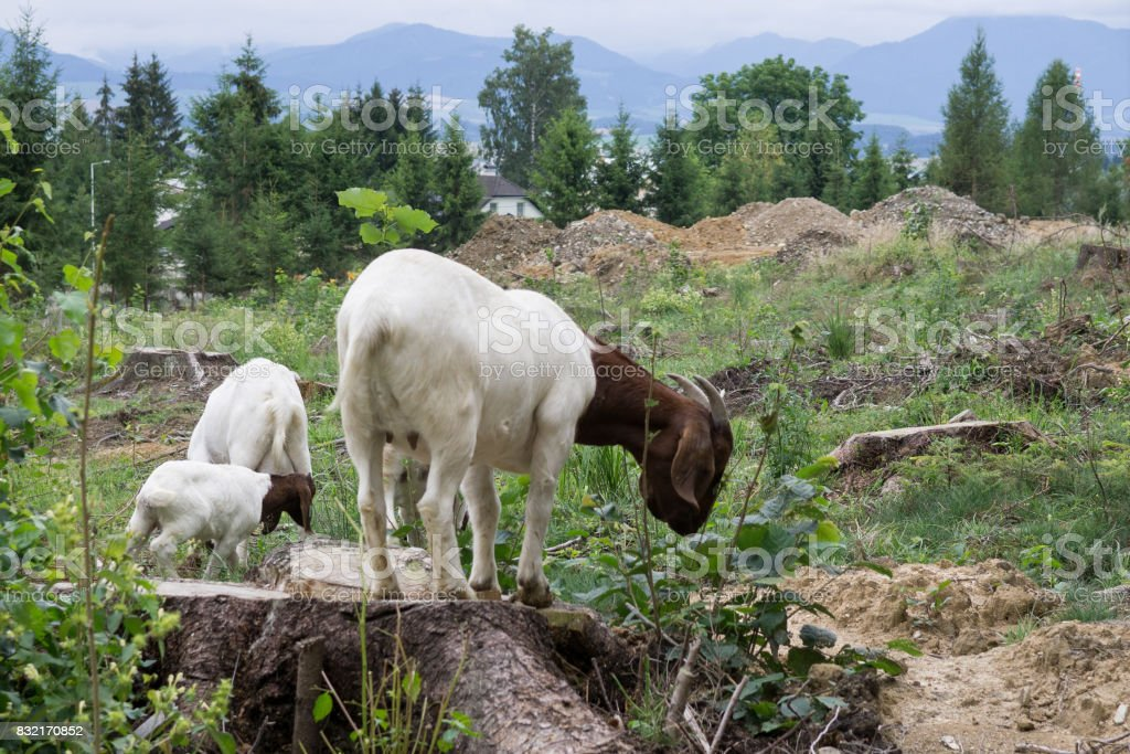 Goat on a trunk of tree. stock photo