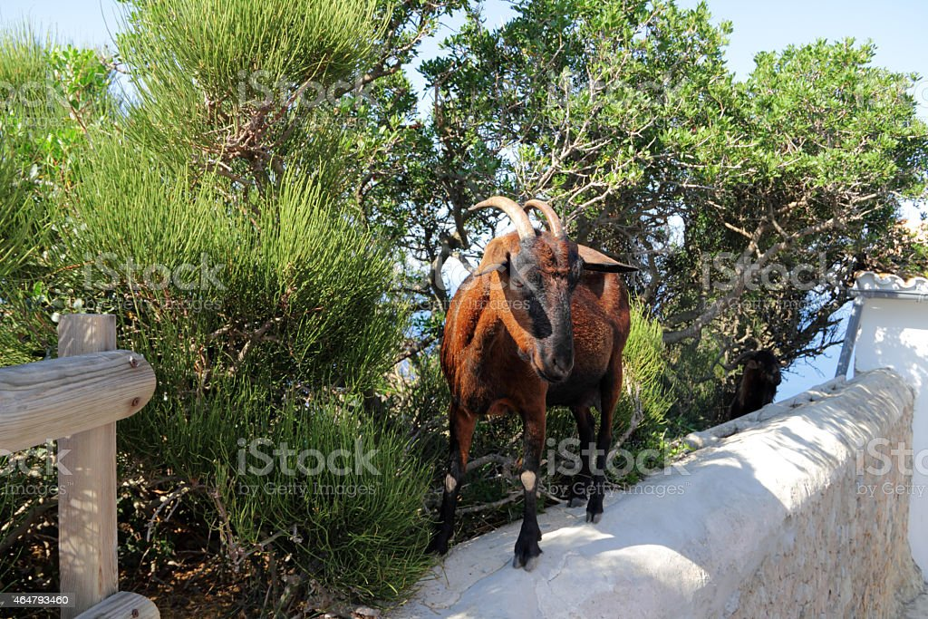 goat on a wall stock photo