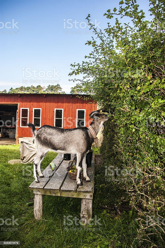 Goat on bench eating hedge royalty-free stock photo