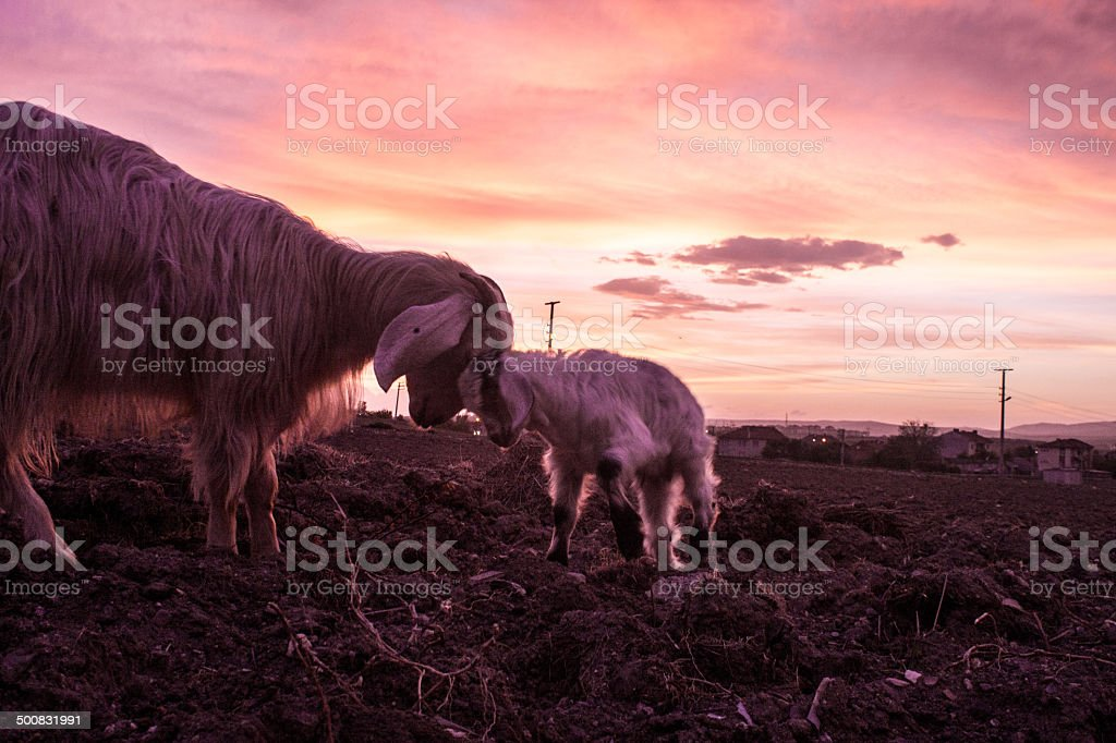 Goat on sunset royalty-free stock photo