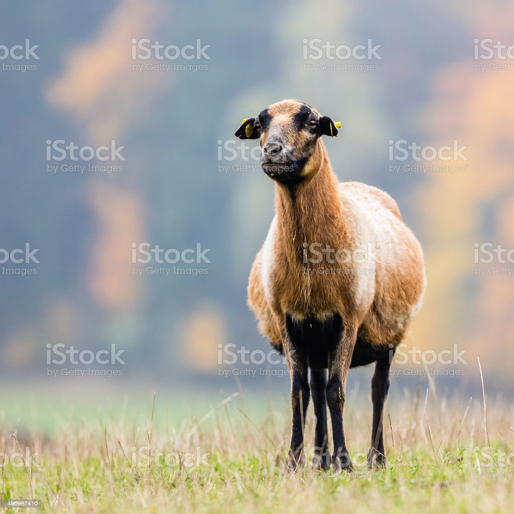 Goat on the green gras stock photo