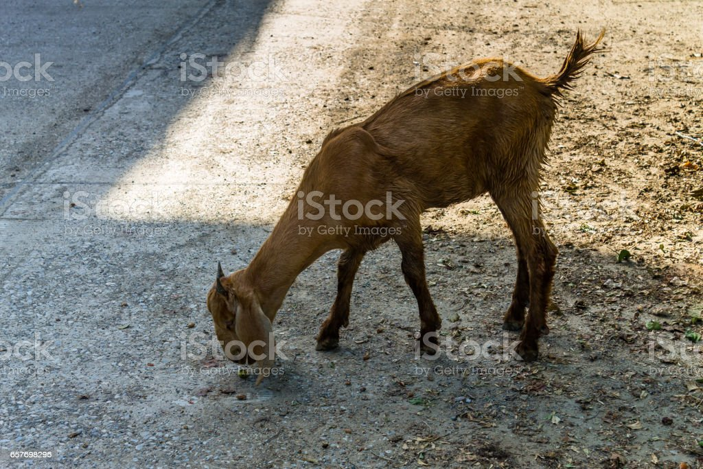 Goat on the ground stock photo