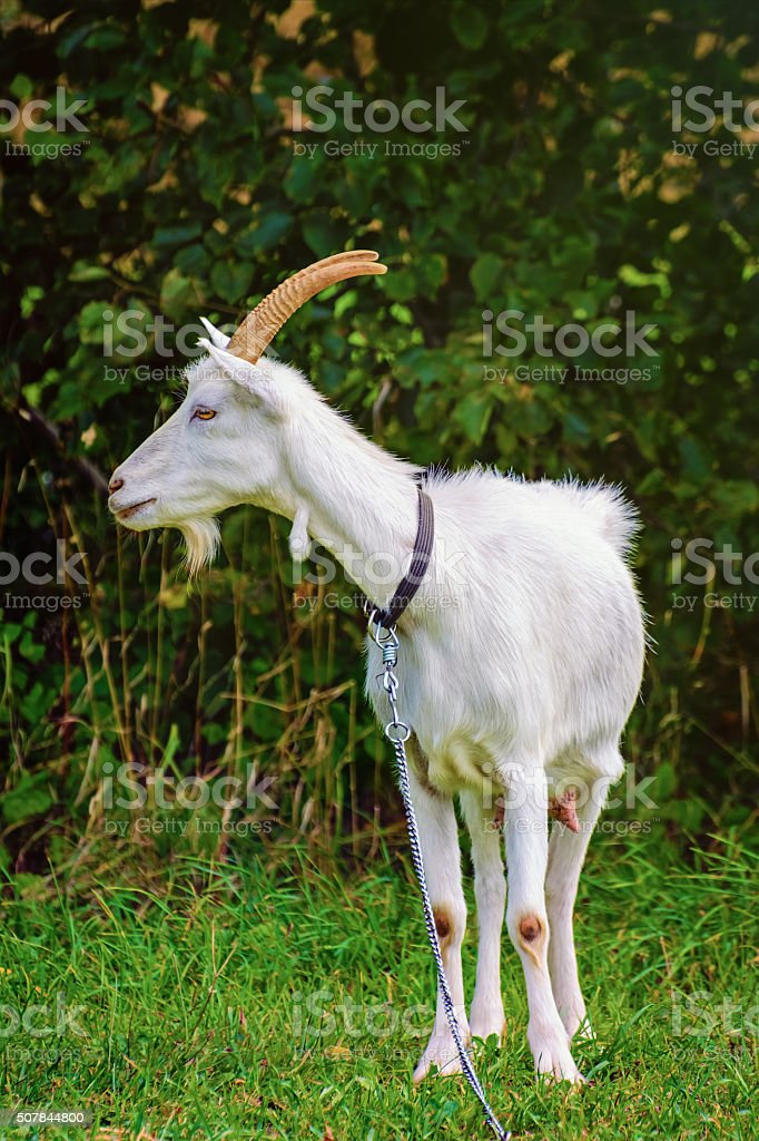 Goat on the Leash stock photo