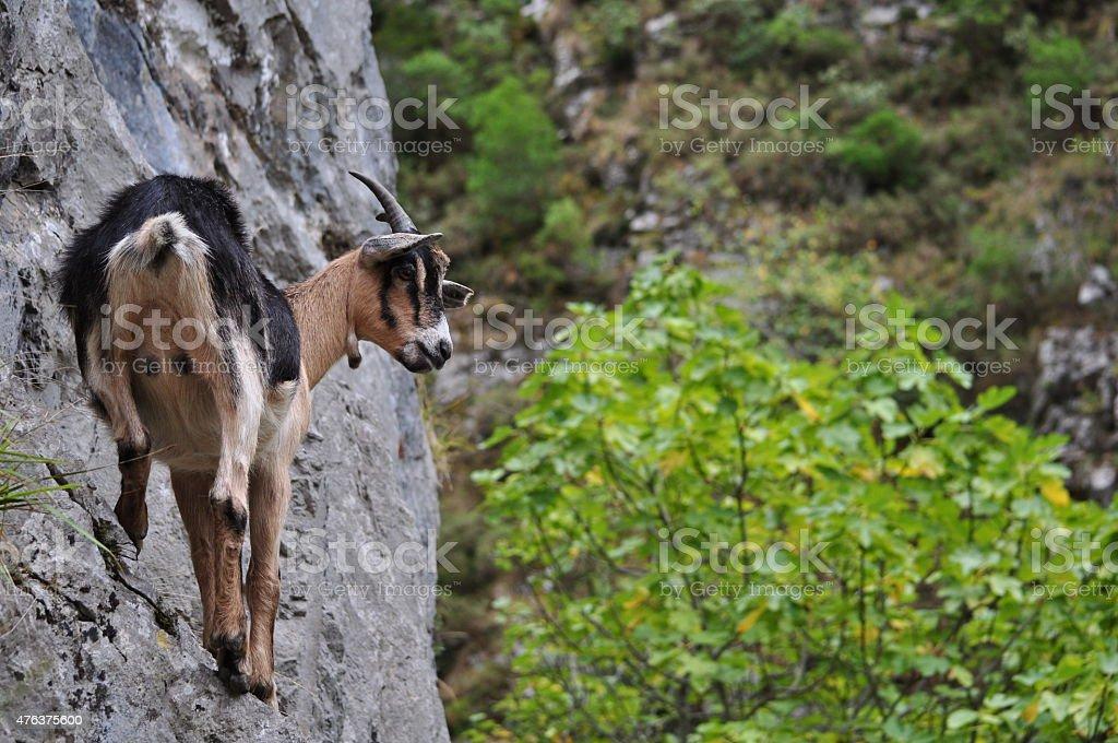 Goat on the Rock, Picos de Europa, Spain stock photo