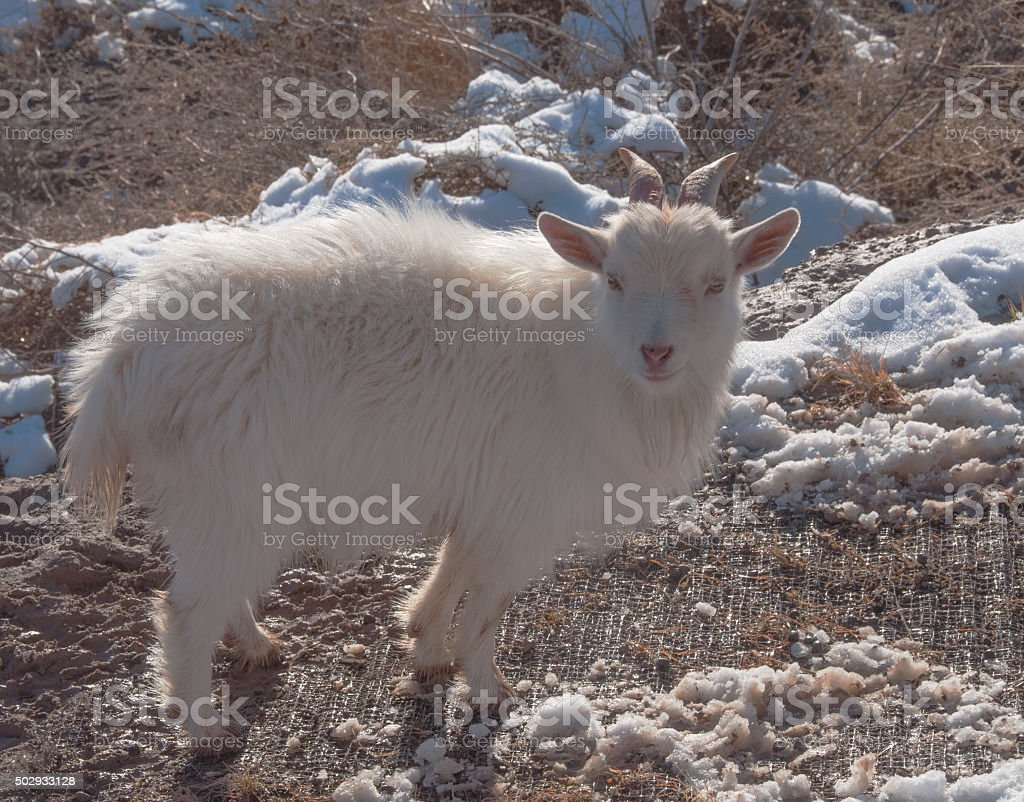 Goat on Weed Patrol for City of Las Cruces stock photo