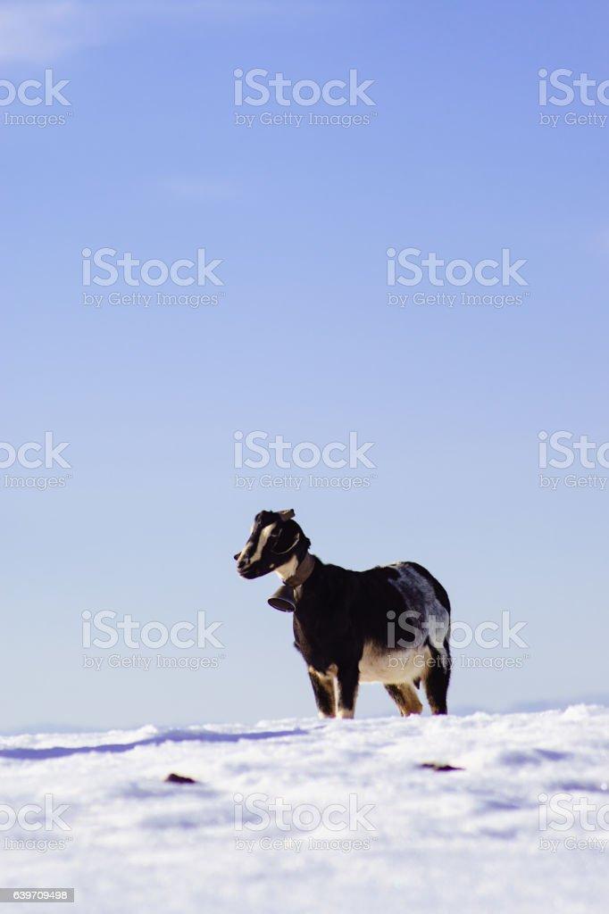 goat on white snow field in Sierra de Maria, Almeria stock photo