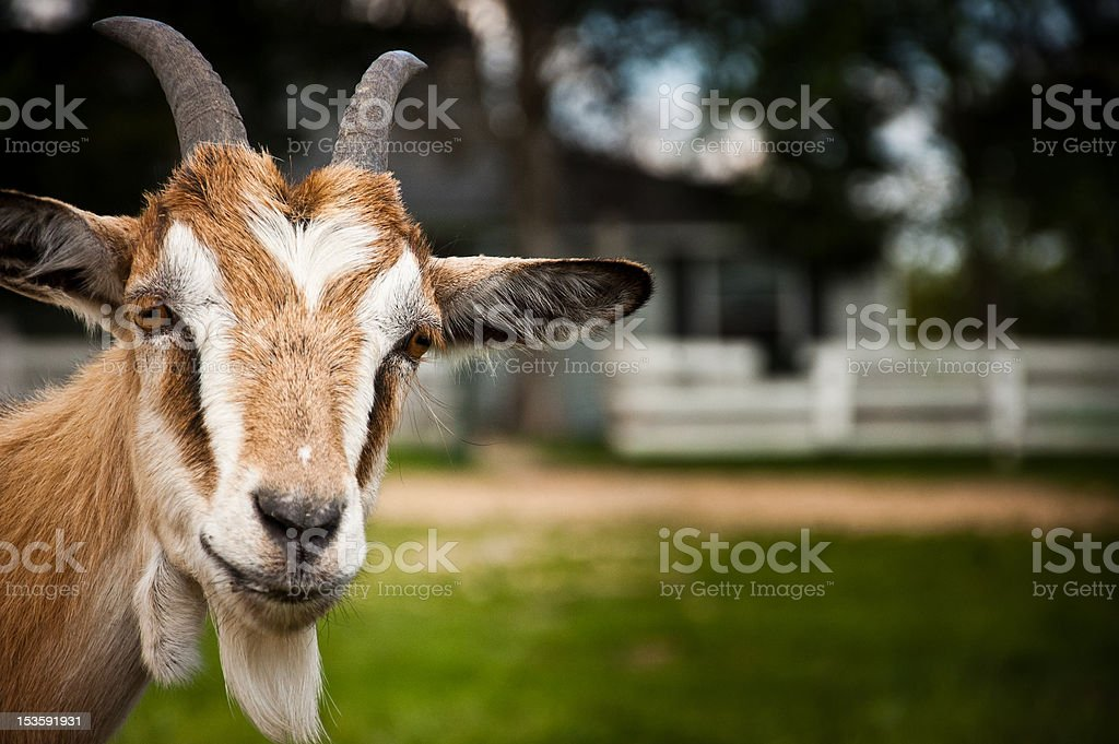 Goat outside a country home stock photo