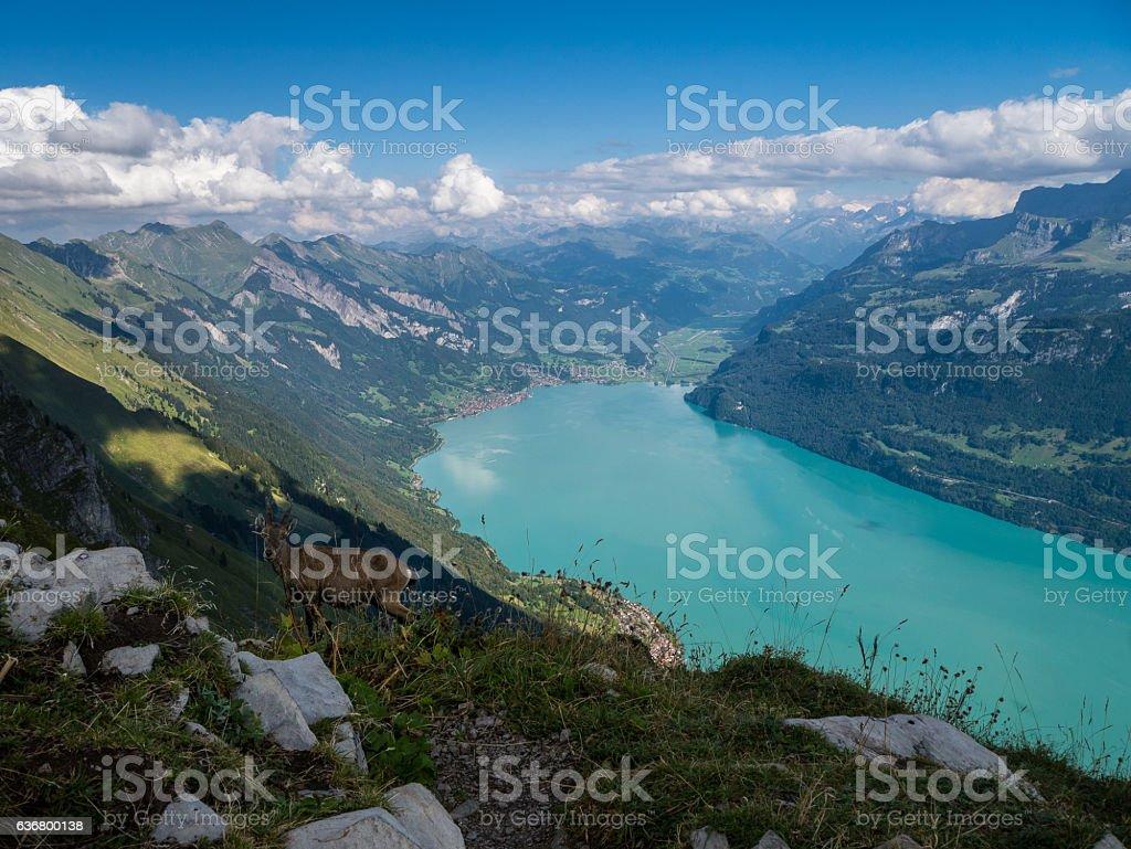 Goat over the Brienzer Lake - Switzerland stock photo