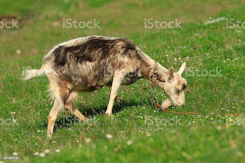 Goat Pastures stock photo