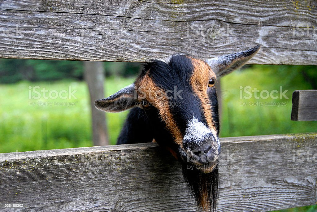 Goat Peeking out through Fence stock photo