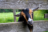 Goat Peeking out through Fence