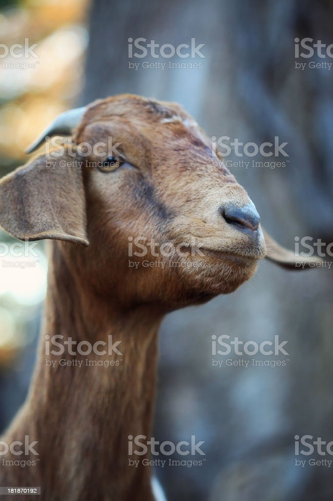 Goat Photo stock photo
