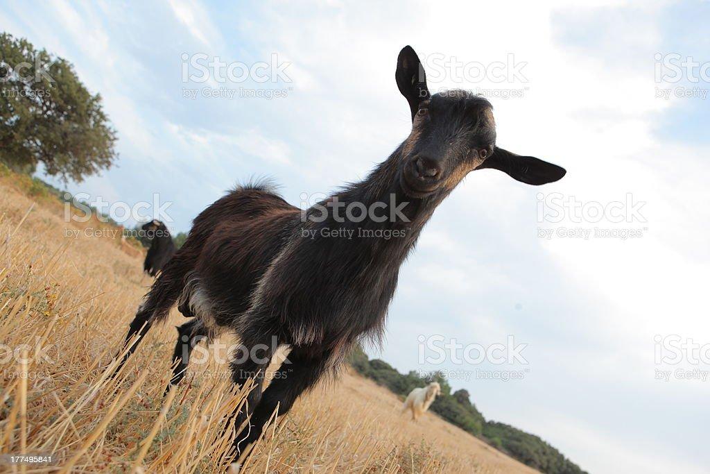 De chèvre photo libre de droits