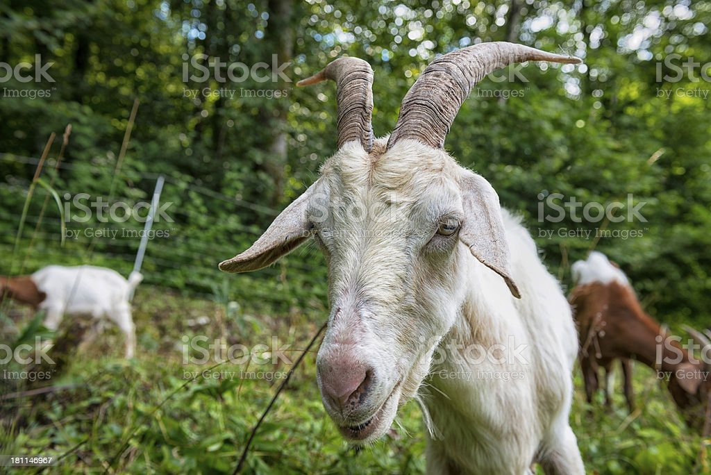 Goat royalty-free stock photo
