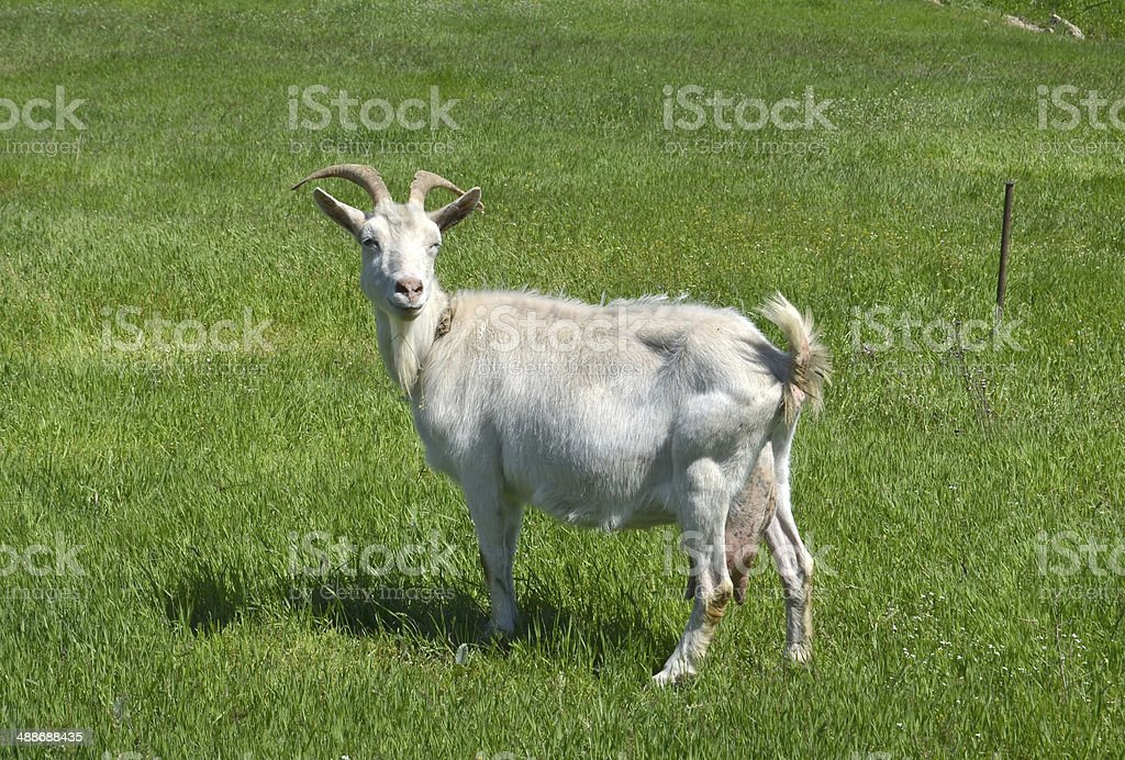 goat stock photo