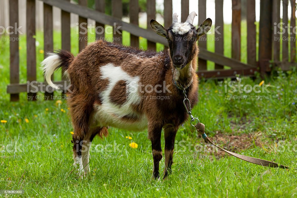 Goat. stock photo
