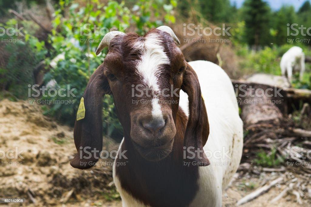 Goat. stock photo