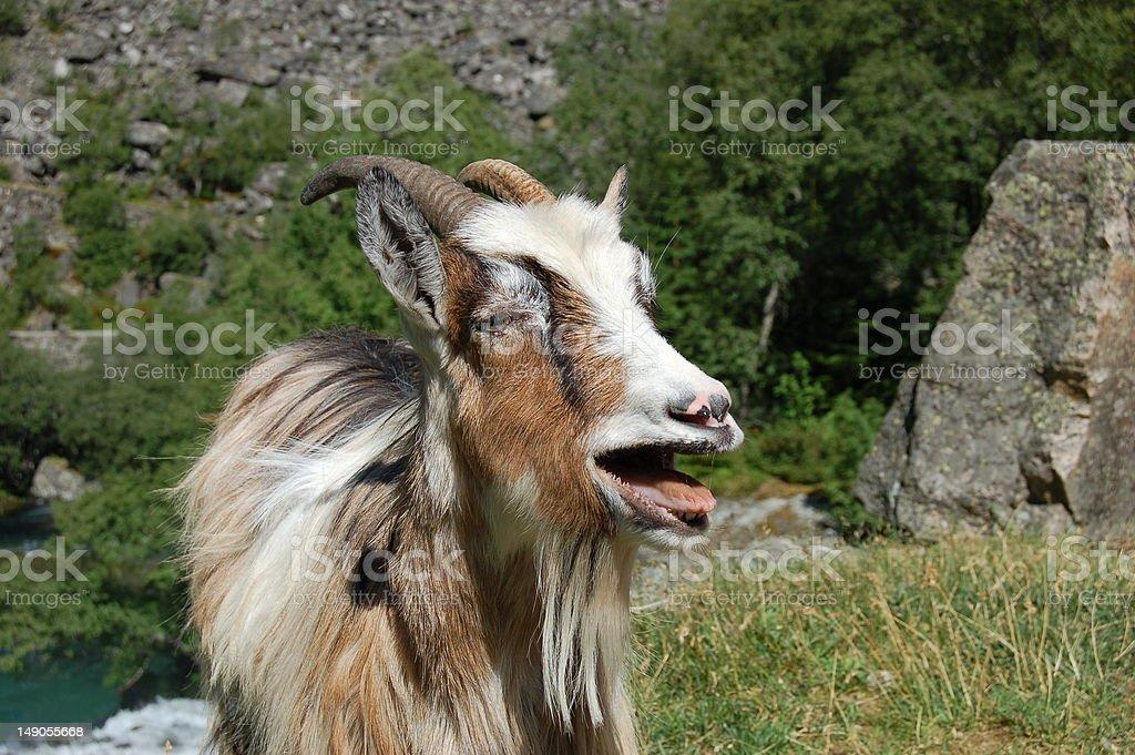 Goat portrait stock photo