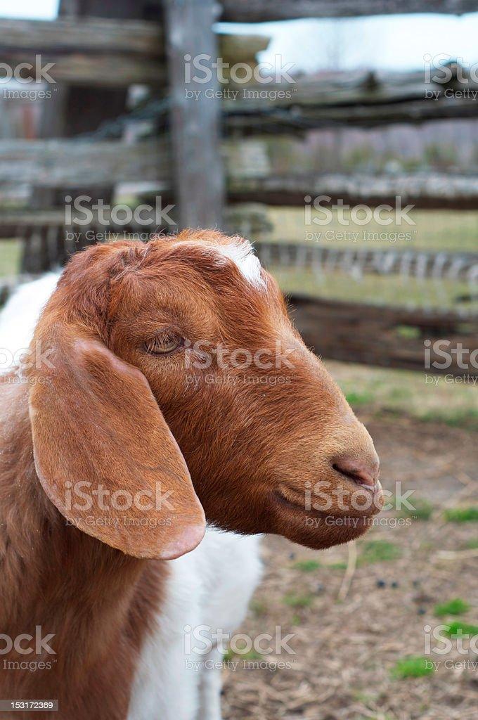 Goat Portrait royalty-free stock photo