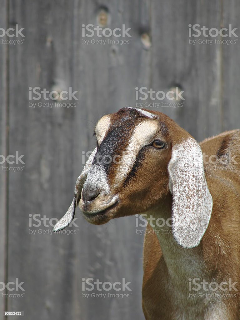 Goat Portrait royalty-free stock photo