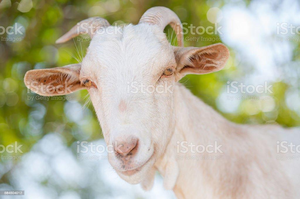 Goat Pyrenees stock photo