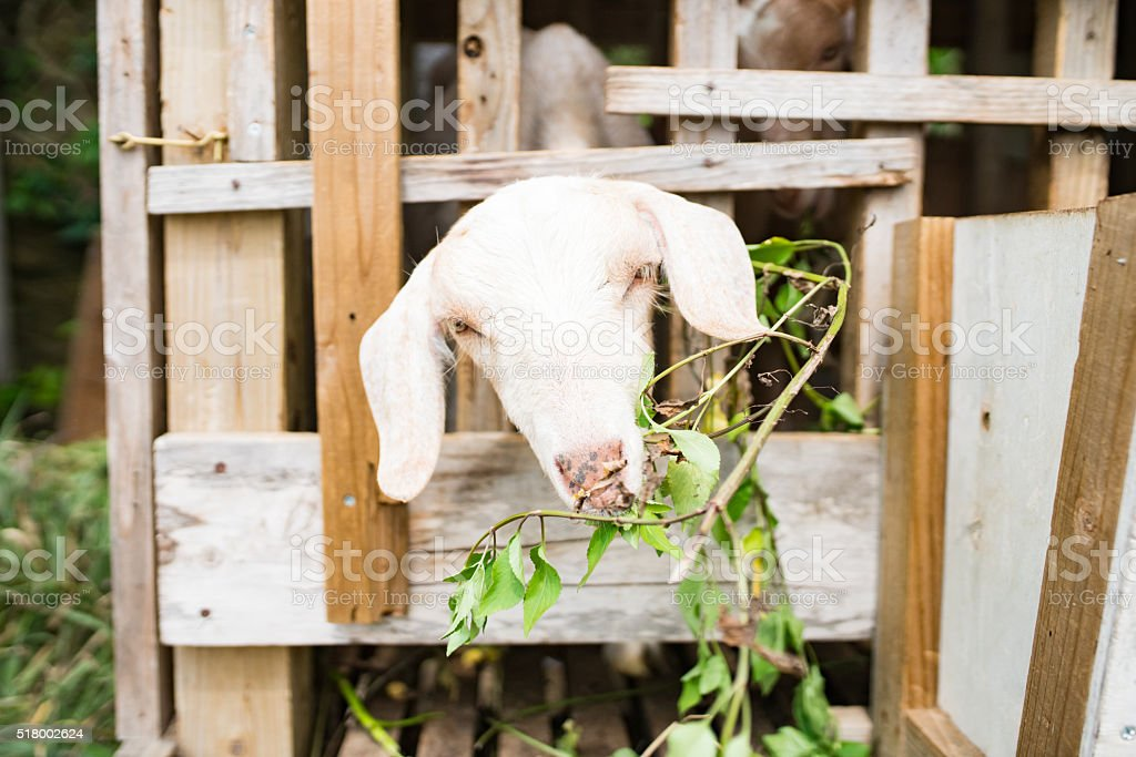 Goat raised for a food source in Okinawa, Japan stock photo