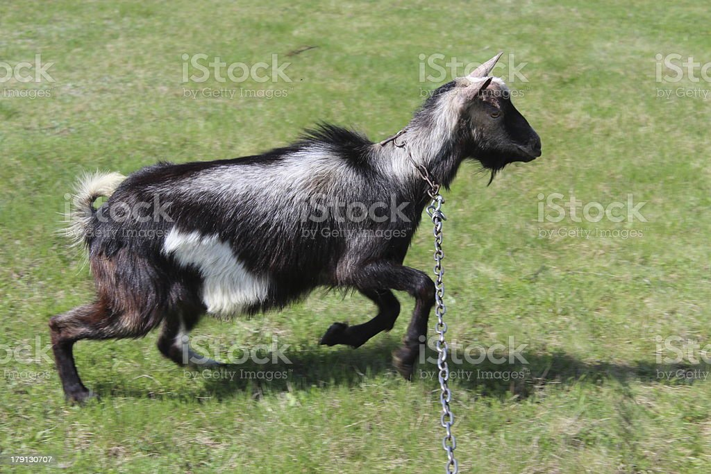 Goat running on a pasture royalty-free stock photo