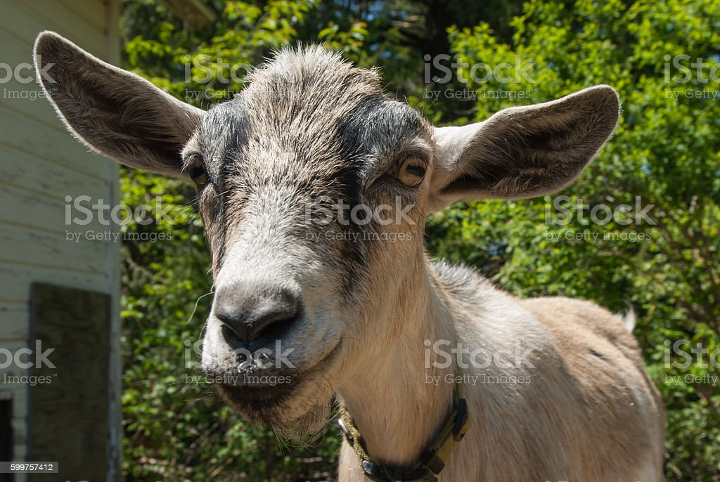 Goat Selfie stock photo