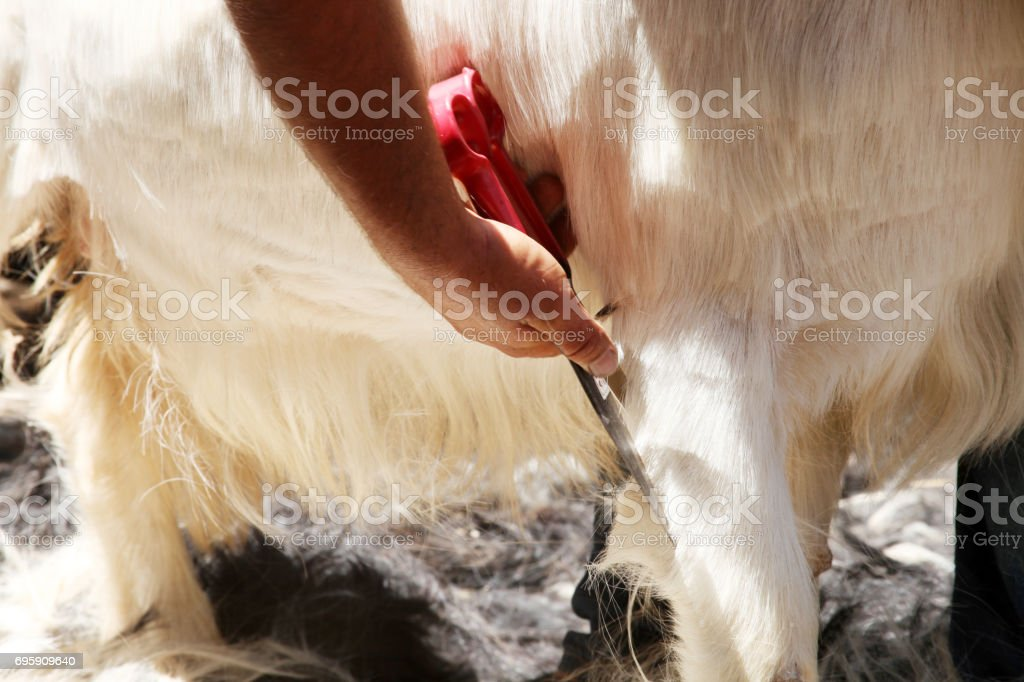 Goat shearing stock photo
