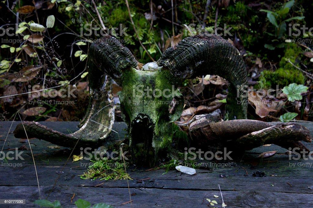 Goat Skull Covered in Moss stock photo