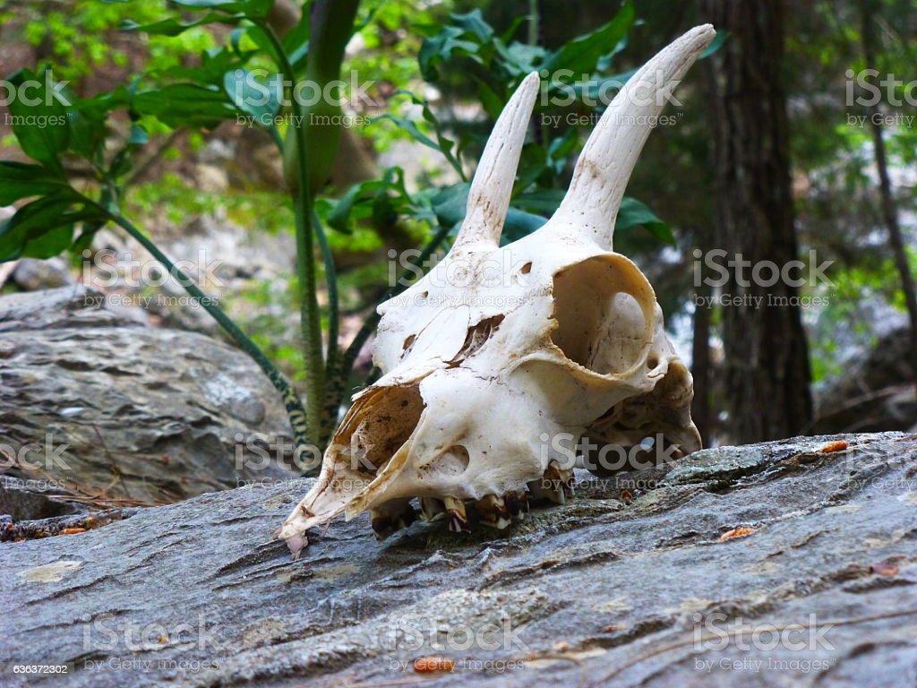 goat skull stock photo