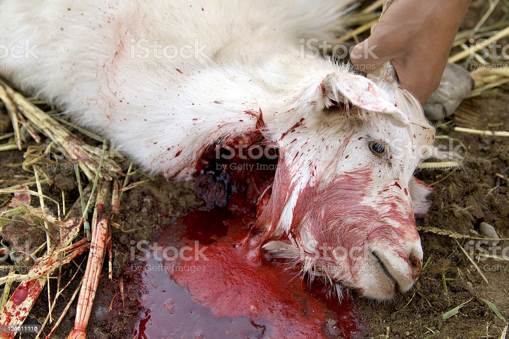goat slaughtering stock photo