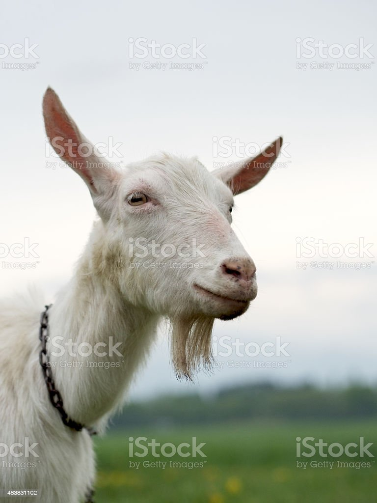 Goat smiling stock photo