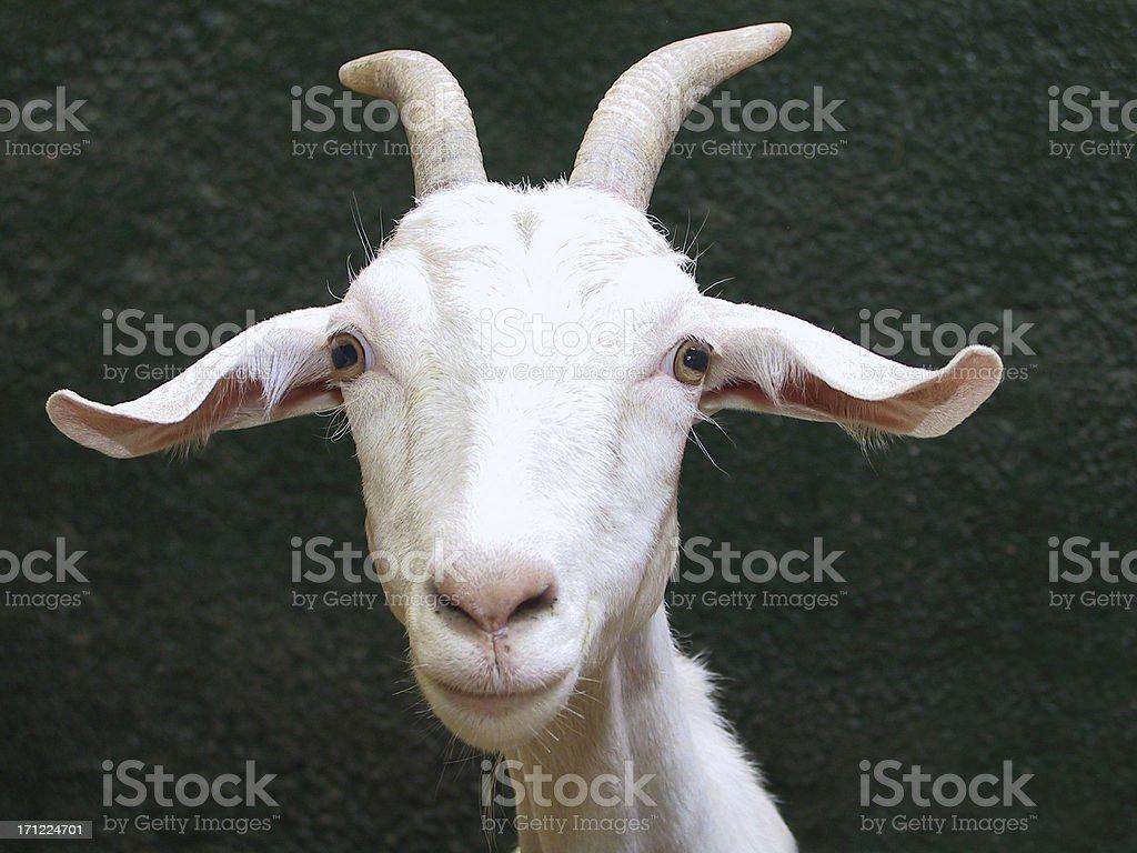 Goat Smirk stock photo