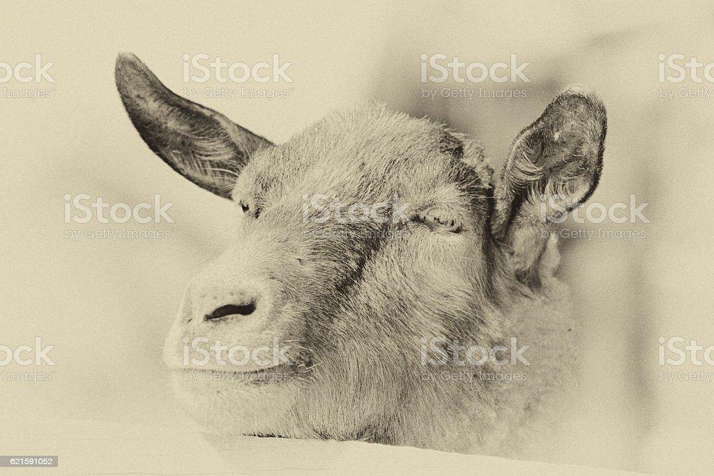 goat snout stock photo