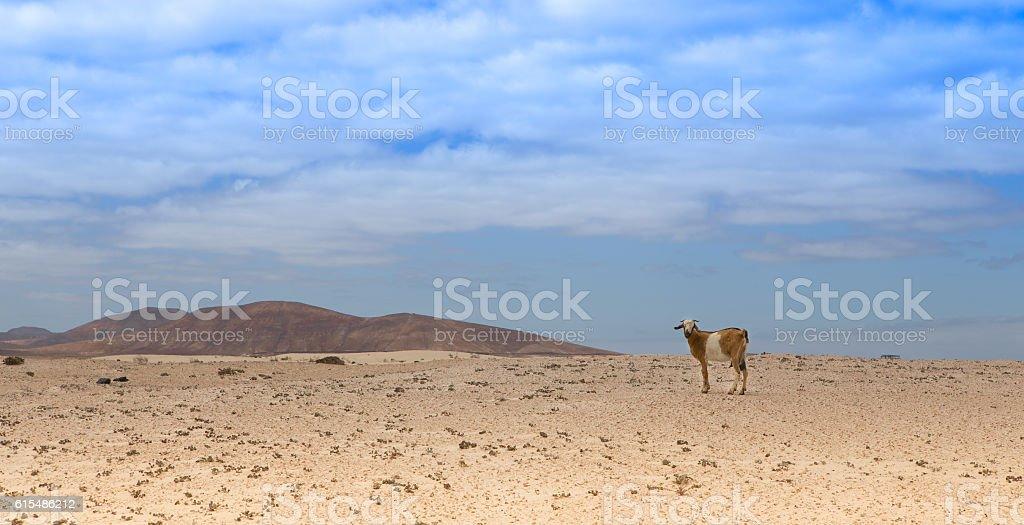 goat standing in the desert. stock photo