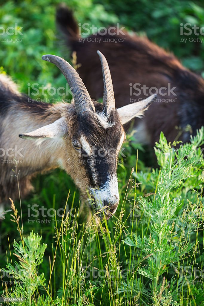 goat standing on pasture with  green grass stock photo