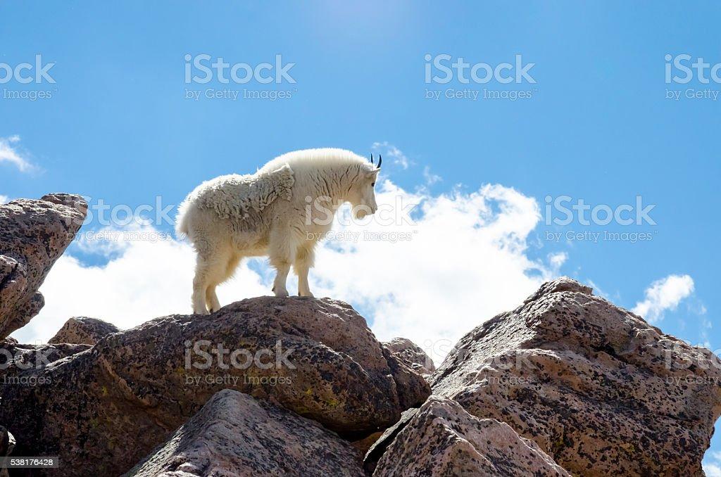 Goat Standing on Rocks Profile stock photo