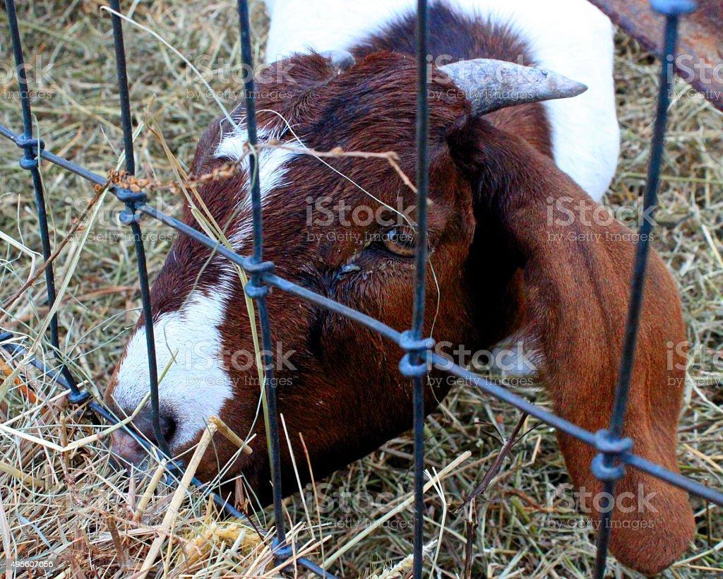 Goat up close on the farm stock photo