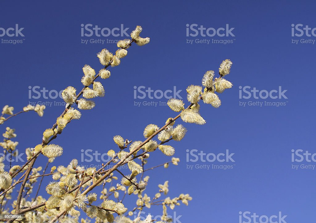 Goat willow blossom stock photo
