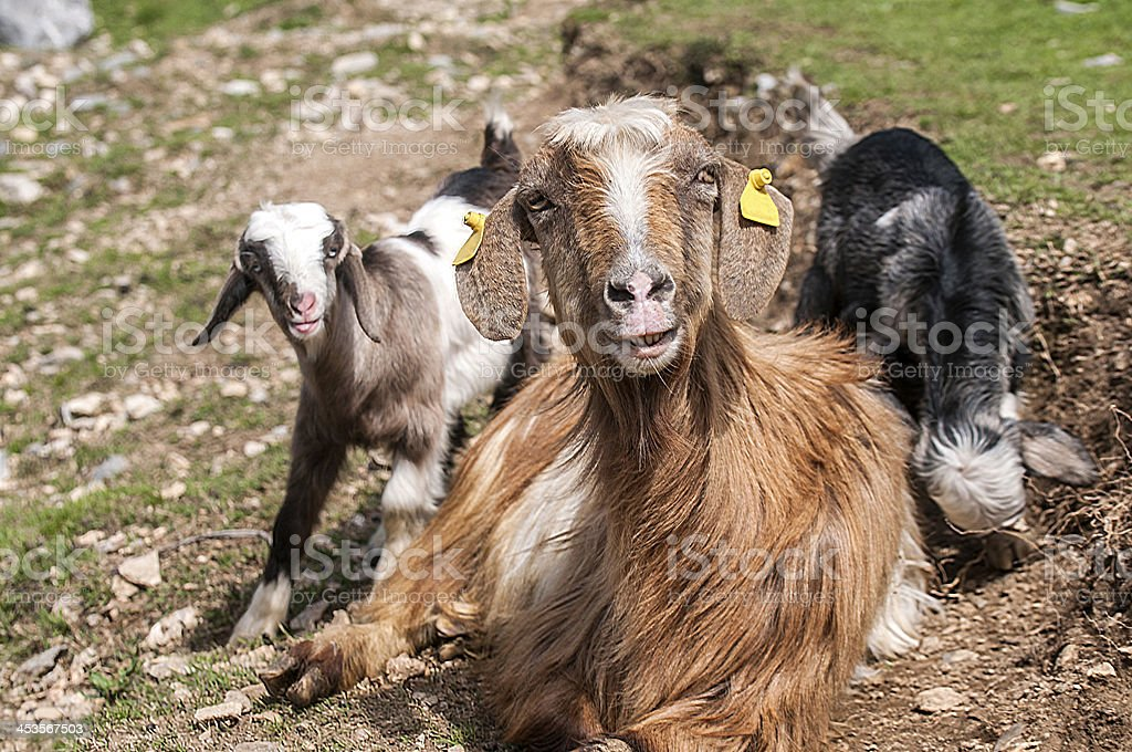 Goat with babies royalty-free stock photo