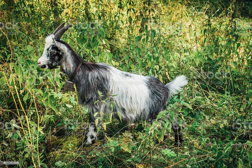 Goat with bell stock photo