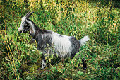 Goat with bell