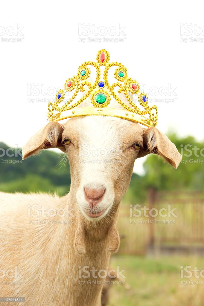 goat with crown stock photo