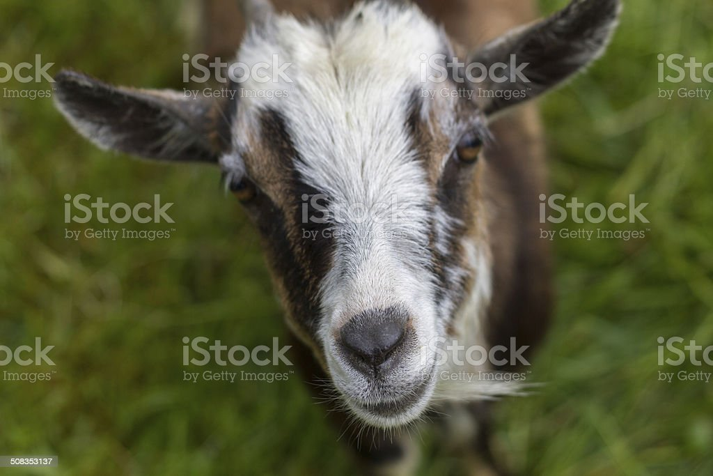 Goat with focal point on the nose stock photo