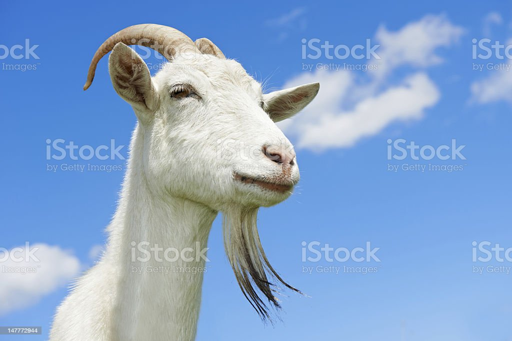 goat with horn at green pasture royalty-free stock photo